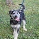 Sympatyczny, energiczny młody psiak. Edi ma ok roku, a w schronisku mieszka od początku marca. Edi jest jeszcze troszkę przestraszony, ale nabiera powoli odwagi. Na spacerach mocno ekscytuje się mijanymi obcymi i ludźmi i psami, trzeba nad jego zachowanie