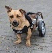 Rufi to pies, którego życie nie oszczędzało. Rufi to pies, którego nie oszczędzali ludzie. Stracił oko, najprawdopodobniej został dotkliwie pobity – na tyle, że ma połamane kręgi i uszkodzony rdzeń kręgowy oraz porażone mięśnie krtani (nie szczeka).