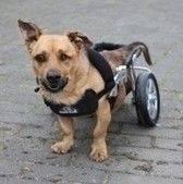 Rufi to pies, którego życie nie oszczędzało. Rufi to pies, którego nie oszczędzali ludzie. Stracił oko, najprawdopodobniej został dotkliwie pobity – na tyle, że ma połamane kręgi i uszkodzony rdzeń kręgowy oraz porażone mięśnie krtani (nie szczeka). Nie da się tego zoperować. Pies nie chodzi i nie kontroluje wydalania. Świetnie radzi sobie jednak na wózku. W ogóle, Rufi jest przeuroczym psem, radosnym i pełnym miłości do ludzi. Uwielbia masaże, jest grzeczny, tylko kotów nie lubi. Jest też istnym pogromcą piłek. Nie musi dostawać żadnych leków, ale trzeba go masować i dbać, by nie nabawił się odleżyn. Rufi ma siedem lat, jest zaszczepiony, zaczipowany (967000009406217) i wykastrowany.