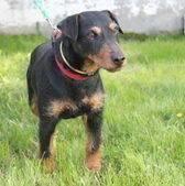 Ośmioletni niemiecki terier myśliwski. Zygfryd jest przyjazny i kontaktowy. Zygfryd jest psem bardzo aktywnym. Na spacerze dużo węszy, niestety ciągnie na smyczy. Nie powinien mieszkać z innymi zwierzętami- próbuje polować. Wobec innych psów zachowuje się jak na razie niezbyt przyjaźnie. Zygfryd jest zaszczepiony, zaczipowany (967000009422957) i wykastrowany.