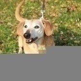 Wesoły, jedenastoletni psiak w typie jamnika. Serdel jest pieskiem towarzyskim, lubi kontakt z ludźmi i bardzo lubi inne psy. Świetnie dogadywał się zarówno z dorosłymi psami jak i szczeniętami. Serdel bardzo ładnie chodzi na smyczy, na spacerze nie zwraca uwago na rowerzystów czy biegaczy. Serdel jest idealnym kompanem dla seniora. Psiak jest wykastrowany i zaczepiony, jest także zaczipowany (967000009426791). Serdel ma na szyi guzka, prawdopodobnie tłuszczaka.