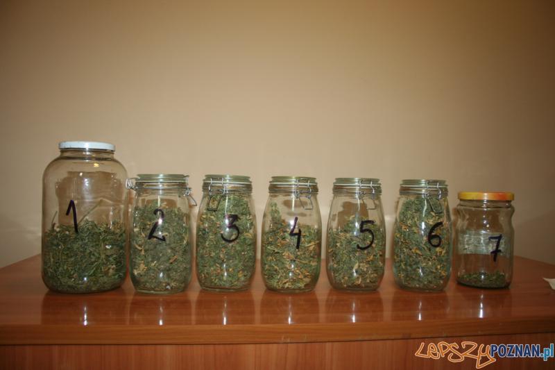 Polcja zatrzymala plantatora marihuany (1)  Foto: