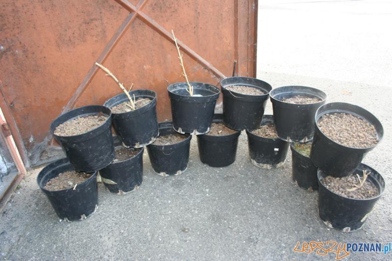 Polcja zatrzymala plantatora marihuany (5)  Foto: