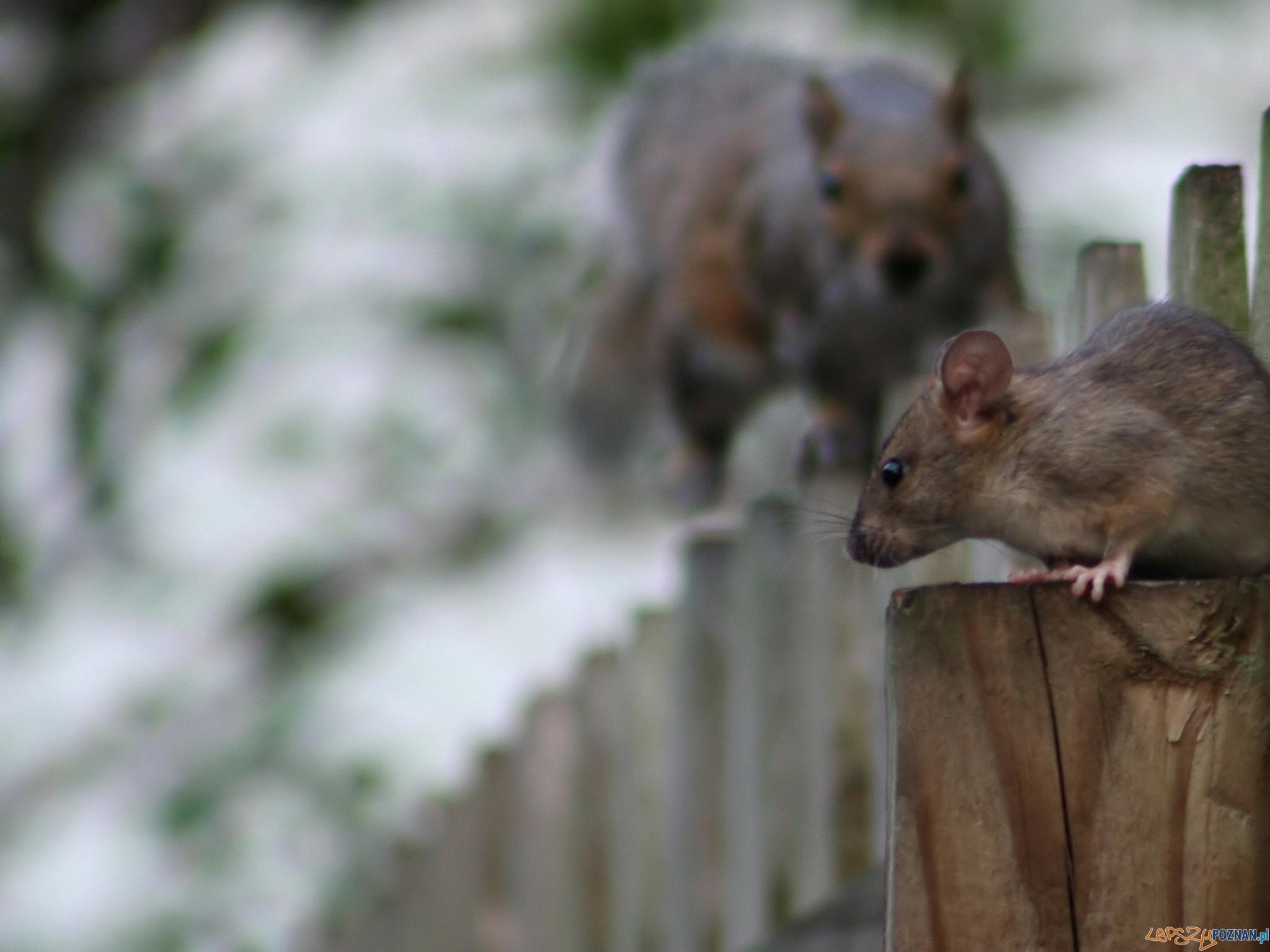 szczury  Foto: sxc