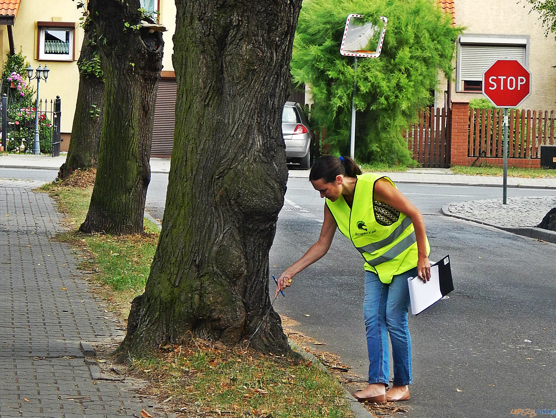 obserwacje i badania drzew pomnikowych  Foto: UM Lubonia