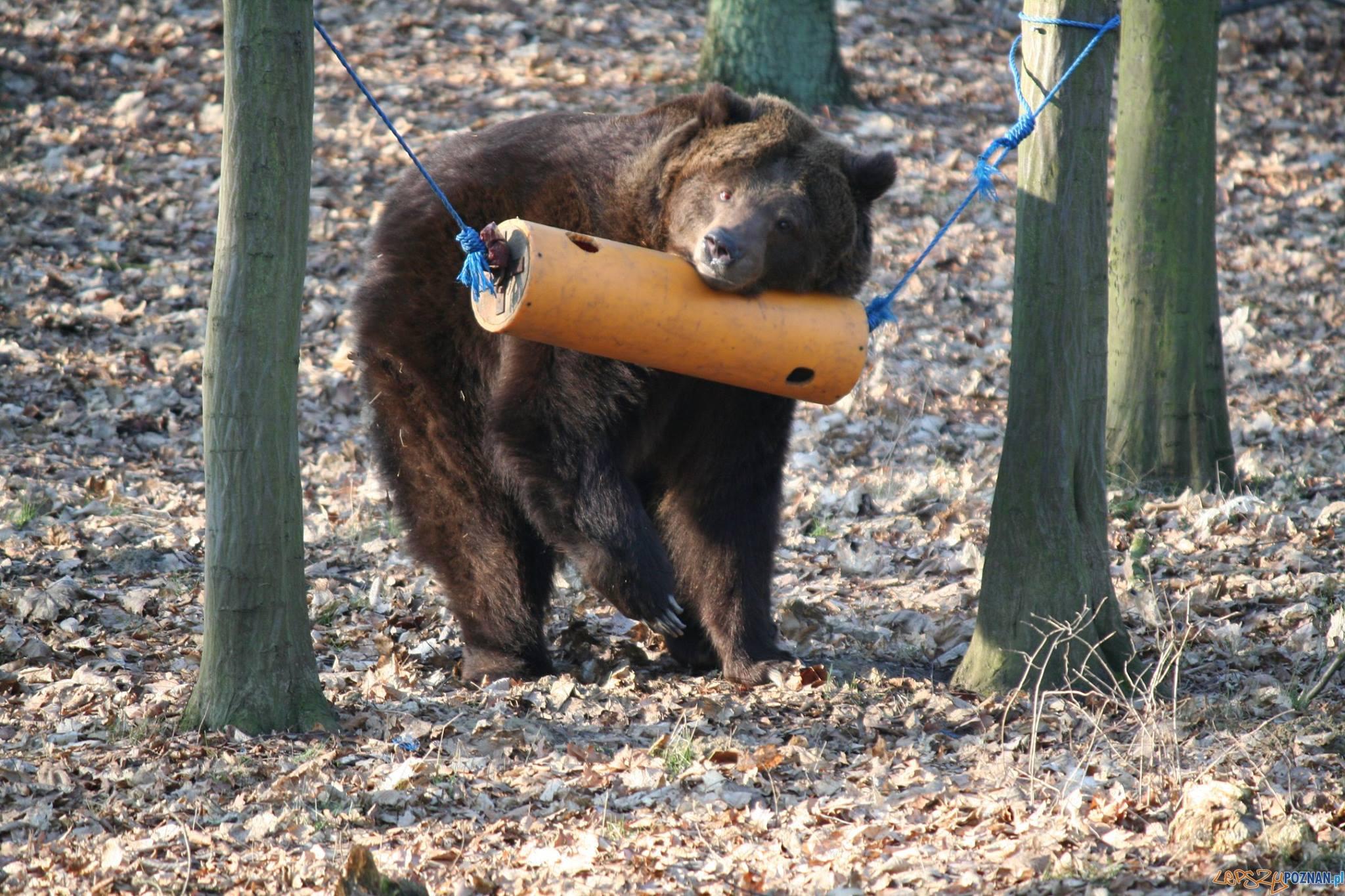 Jest zrzutka dla niedźwiedzi  Foto: Zoo Poznań
