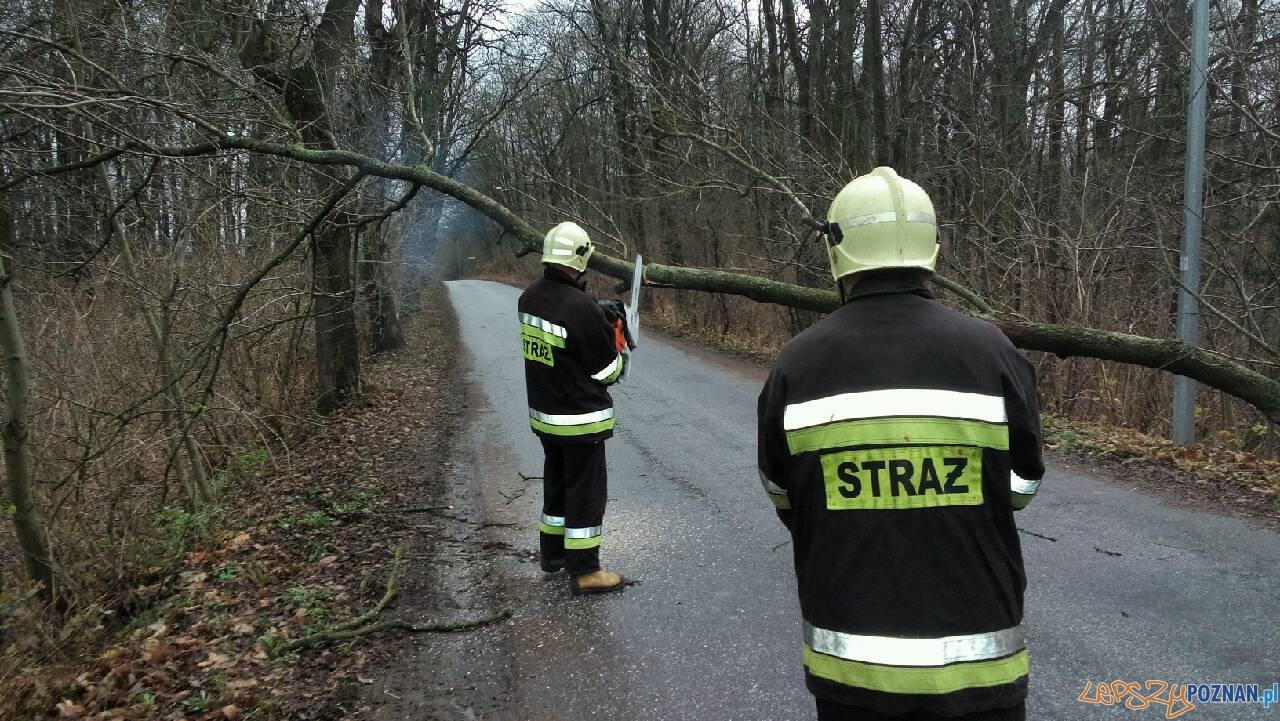 Powalone drzewo w Iwnie  Foto: OSP Kostrzyn