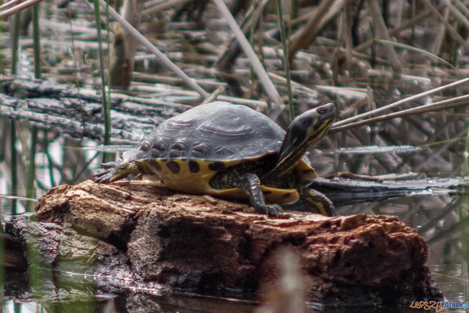 żółwie  Foto: lepszyPOZNAN.pl / Ewelina Jaśkowiak
