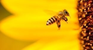 Pszczoła  Foto: Boris Smokrovic