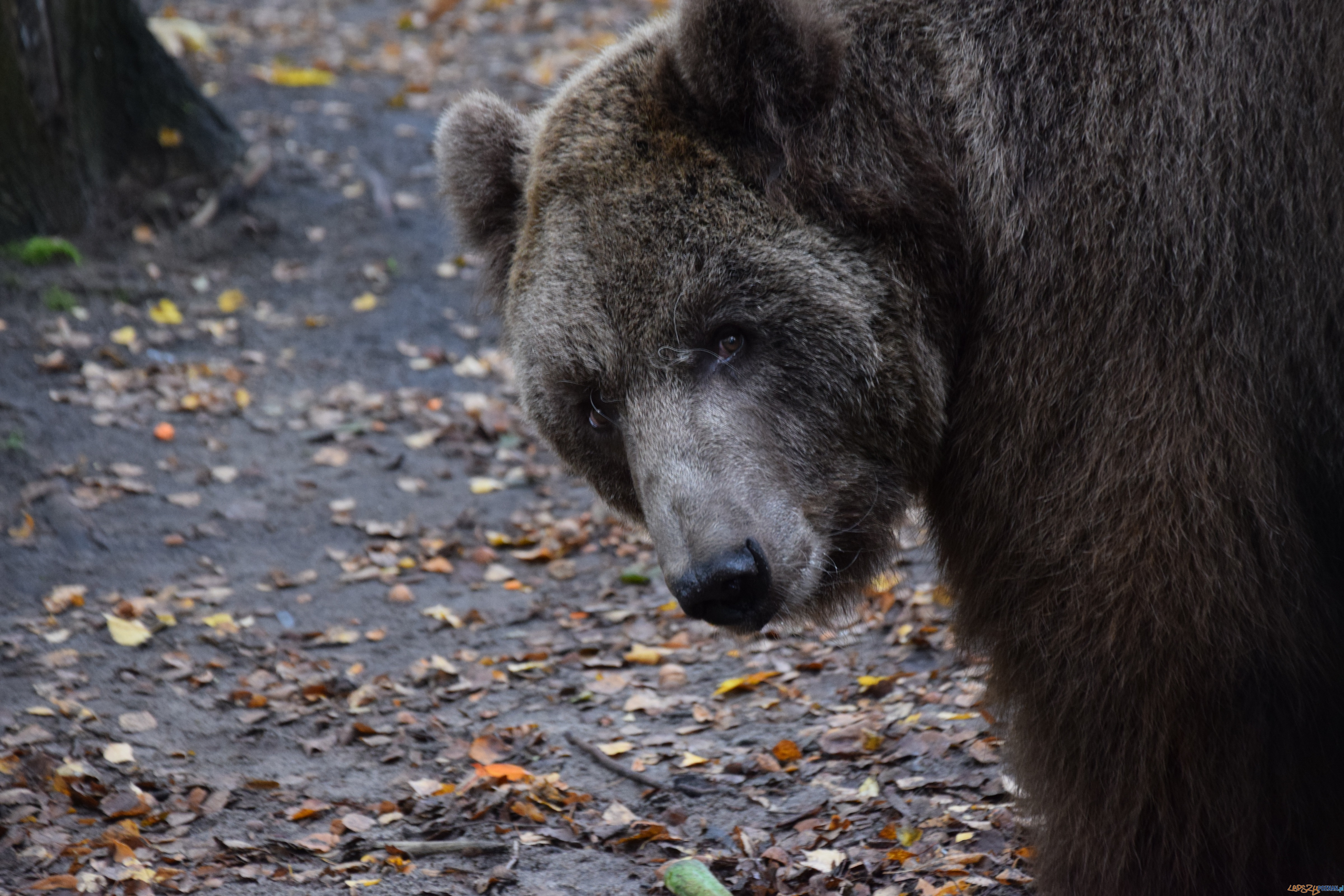 Baloo uratowany z cyrku  Foto: Poznańskie Zoo / materiały prasowe