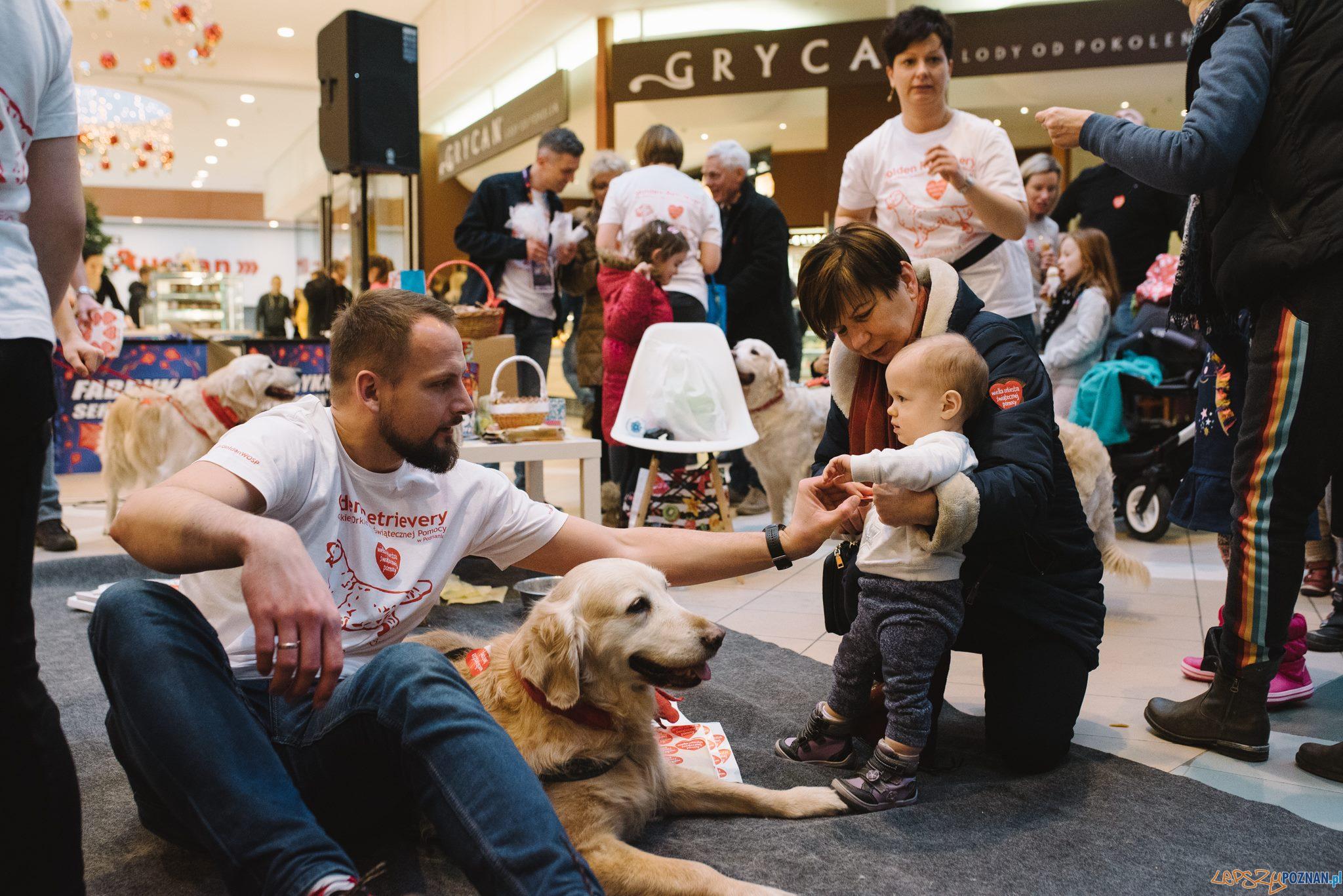 40 psów rasy Golden Retriever będzie kwestować w Poznaniu  Foto: PhotoDuet